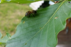 Bienen auf Blatt kleine Pause-1