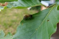 Bienen auf Blatt kleine Pause-2
