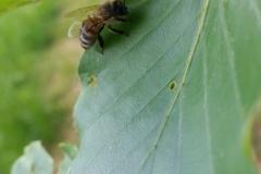 Bienen auf Blatt kleine Pause-3