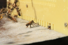Aufräumaktion einer Biene